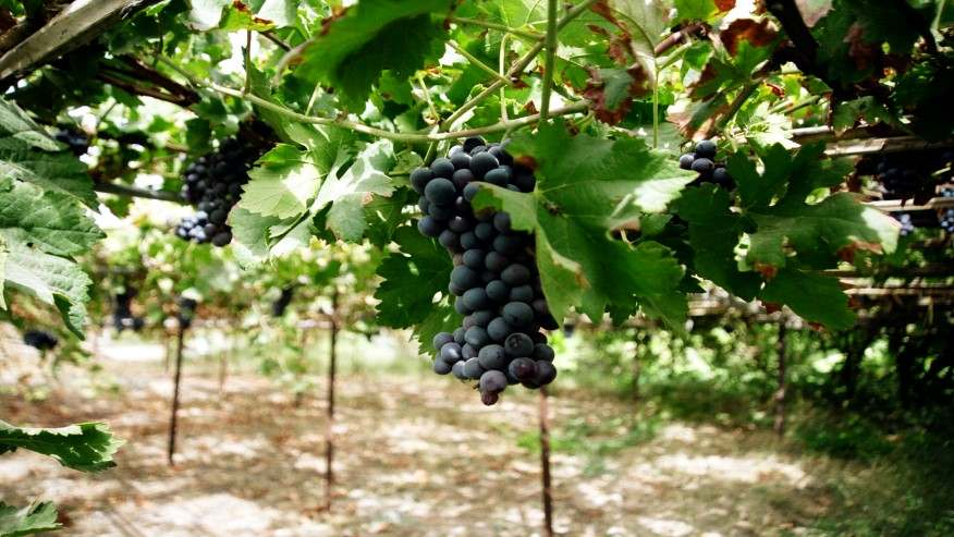 زراعة العنب في الأراضي الصحراوية وما هي طرق زراعة العنب