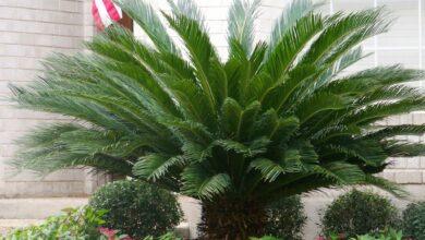 Photo of ما هو نبات السيكاس الذي يسبب التسمم وتليف الكبد