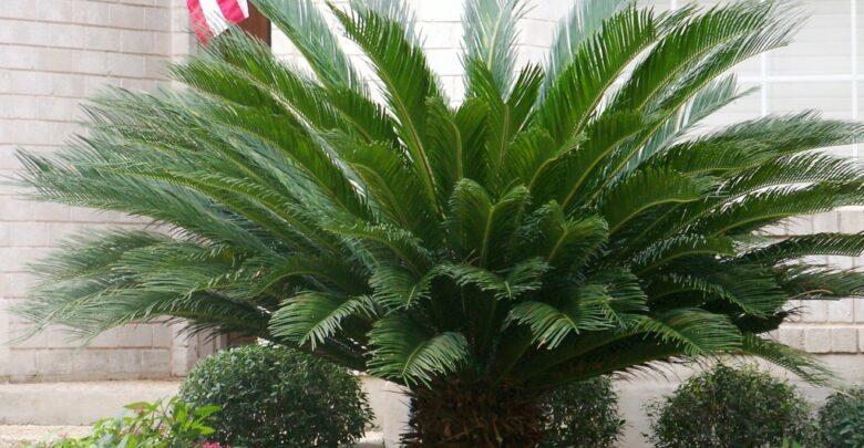 نبات السيكاس الذي يسبب الوفاة والسرطان
