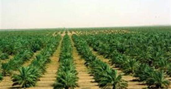أهم المحاصيل الزراعية في المملكة العربية السعودية