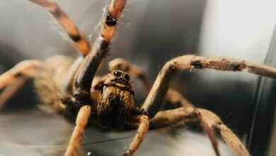 Photo of رؤية العنكبوت في المنام من حيث الأسود والبني ورؤية خيوطه أو الهروب منهم