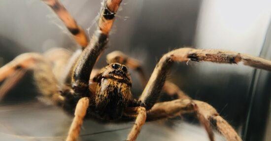 رؤية العنكبوت في المنام من حيث الأسود والبني ورؤية خيوطه أو الهروب منهم
