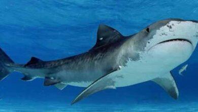 Photo of تفسير سمك القرش في المنام للعزباء والمتزوجة والحامل لابن سيرين