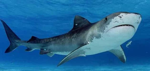 سمك القرش في المنام للعزباء والمتزوجة والحامل وتفسيرات ابن سيرين