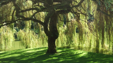 Photo of ظل الشجرة في المنام للعزباء والحامل
