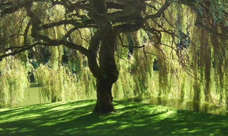 ظل الشجرة في المنام للعزباء والحامل
