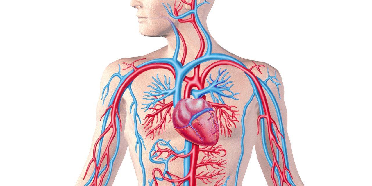 الفرق بين الدورة الدموية الصغرى والكبرى